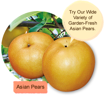 Asian Pears:Try Our Wide Variety of Garden-Fresh Asian Pears.