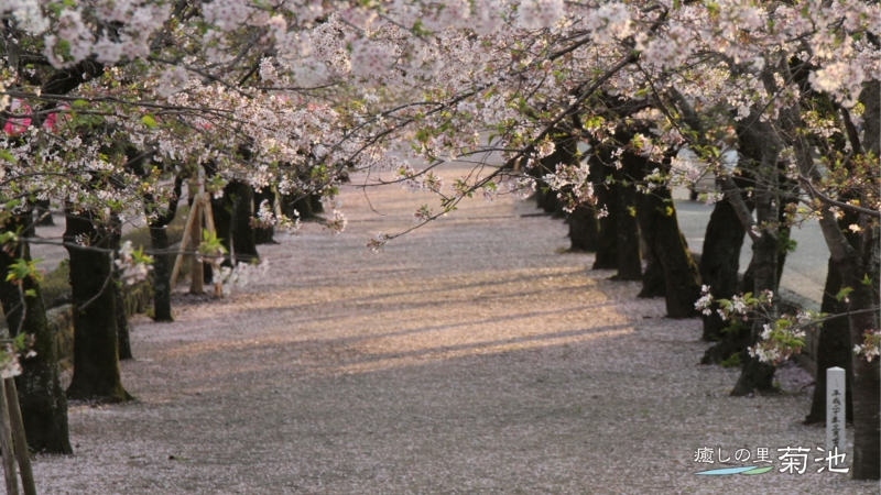 Cherry Blossoms at the approach to Kikuchi Shrine
