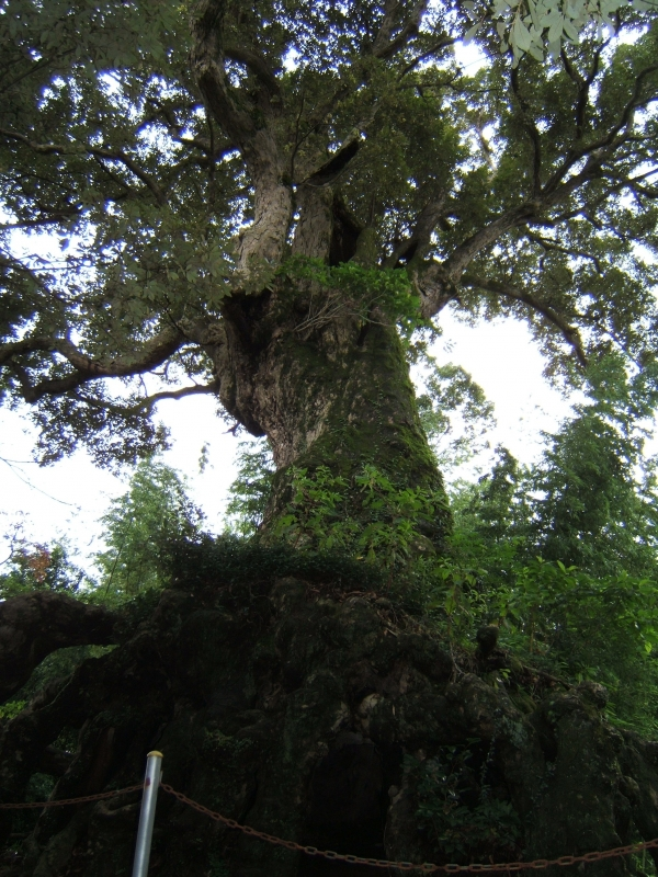 Ichii Oak Tree