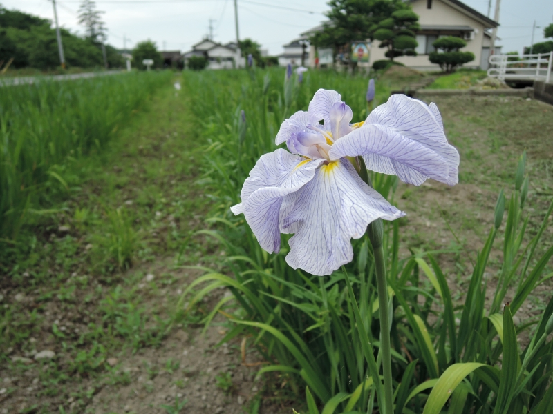 blue flag iris photo