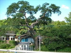 Sacred Tree at Himei